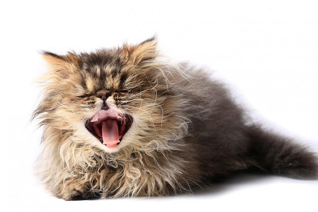 Bocejo do gatinho isolado no fundo branco. raça persa de gato Foto Premium