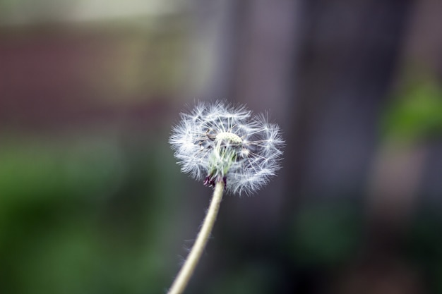 Bola de sopro-leão, bola de sopro, cabeça de semente Foto Premium