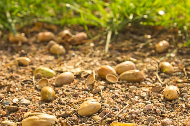 Bolotas do outono que encontram-se no close-up à terra na floresta do outono. Foto Premium