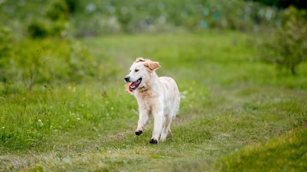 Bom cachorro correndo na natureza da primavera Foto Premium
