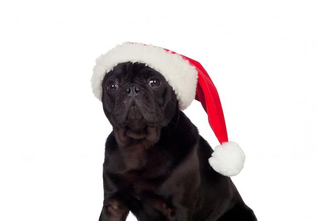Bom cão pug carlino com chapéu de natal isolado no fundo branco Foto Premium
