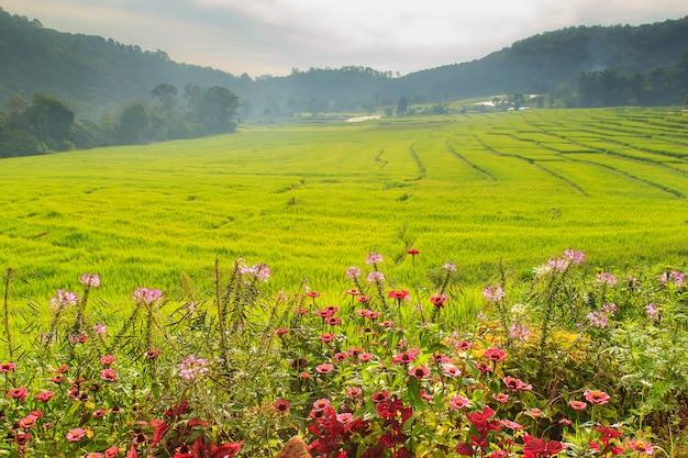 Bom dia, campo de arroz em terraços verdes em mae klang luang, mae chaem, chiang mai, tailândia Foto Premium