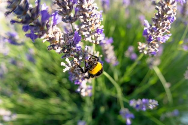 Bombus terrestris e a flor de lavanda Foto gratuita