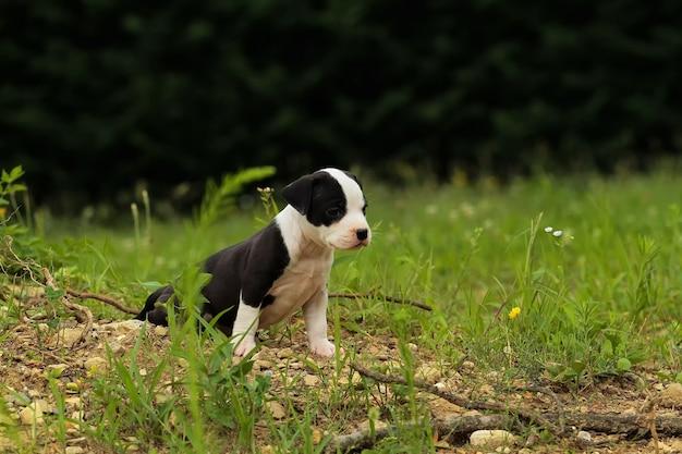Bonito, amstaff, cachorro cachorro Foto Premium