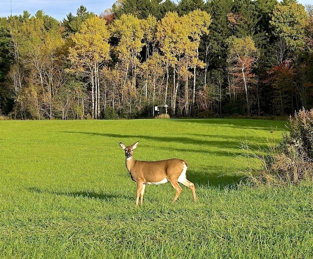 Bonito cervo solitário, olhando diretamente para a câmera em um campo verde perto de árvores altas e grossas Foto gratuita
