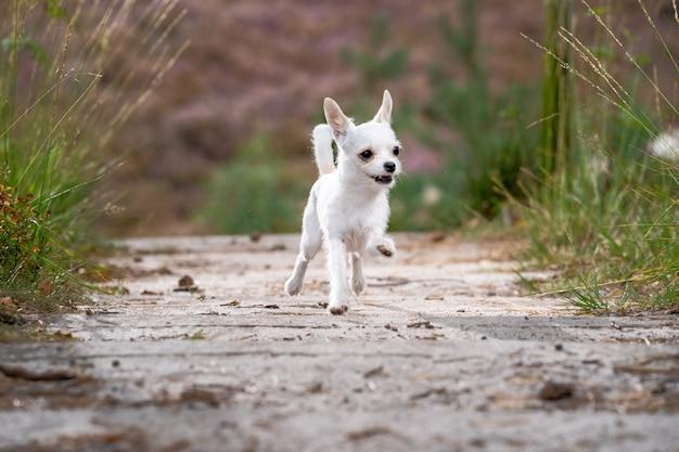 Bonito chihuahua branco correndo na estrada Foto gratuita