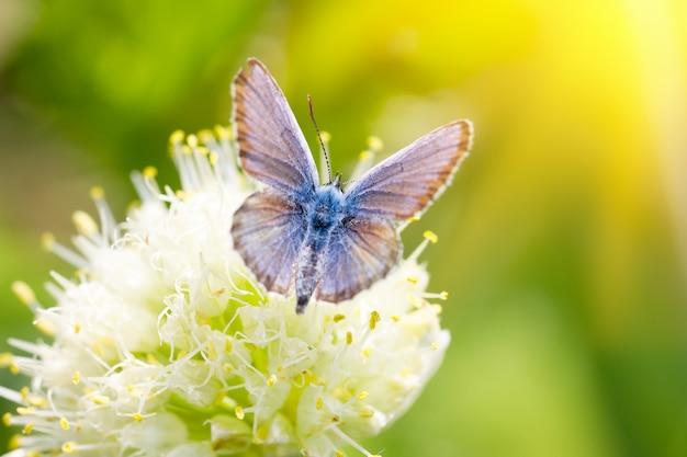 Borboleta azul, em uma flor, inseto primavera Foto Premium