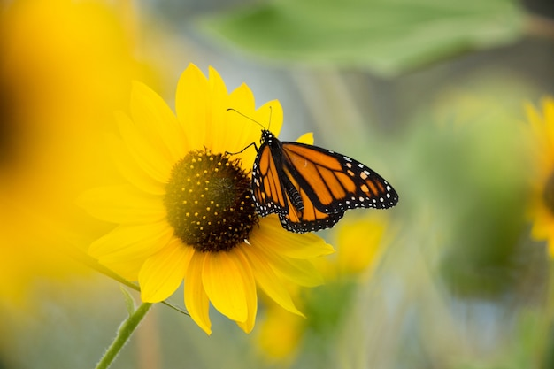 Borboleta monarca no campo de girassol Foto Premium