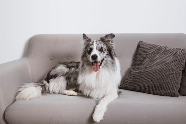 Border collie deitado em sofá com língua de fora