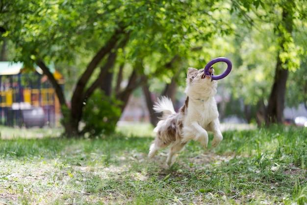 Border collie cachorro pega um disco voador Foto Premium