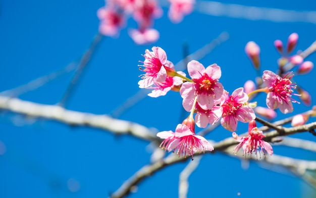 Borrado de flor dos cerasoides do prunus no fundo do céu azul. Foto Premium
