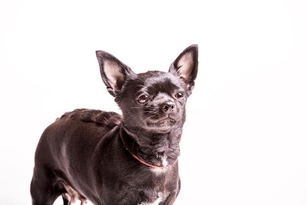 Boston terrier cachorro sobre fundo branco Foto gratuita