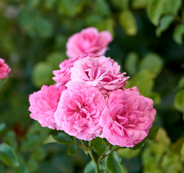 Botões de rosa rosas florescendo no jardim, fundo verde Foto Premium