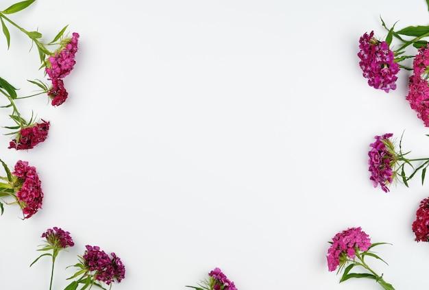 Botões florescendo cravos turcos dianthus barbatus Foto Premium