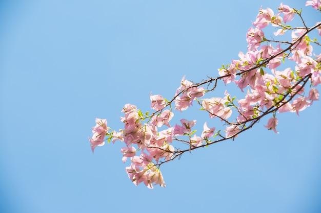 Bougainvillea flores com fundo de céu azul Foto Premium