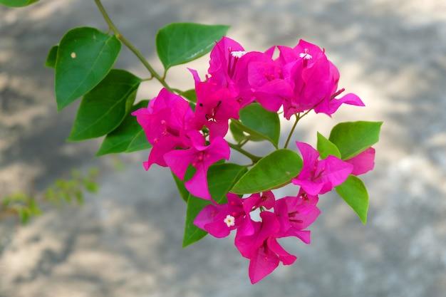 Bougainvillea rosa flores Foto Premium