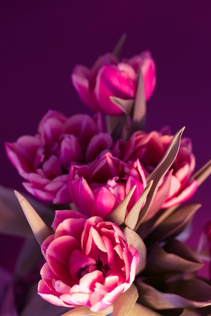 Bouquet de tulipas rosa lindas frescas sobre fundo roxo. Foto Premium