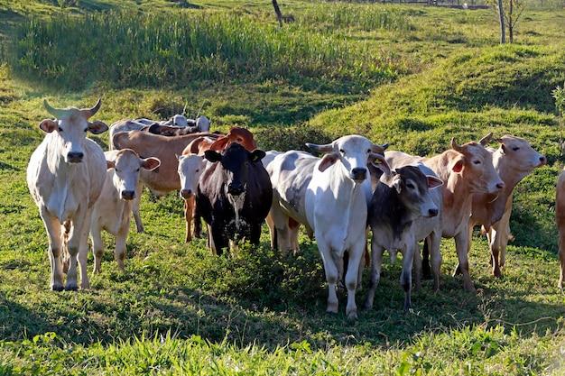 Bovinos em pastagem, estado de são paulo, brasil Foto Premium