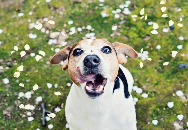 Brincalhão jovem jack russell terrier pega boca pétalas de cereja Foto Premium