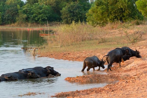 Búfalo de pântano tailandês no pântano de turfa ao redor da lagoa Foto Premium