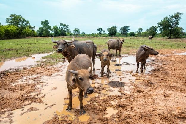 Búfalos da tailândia no campo de arroz Foto Premium