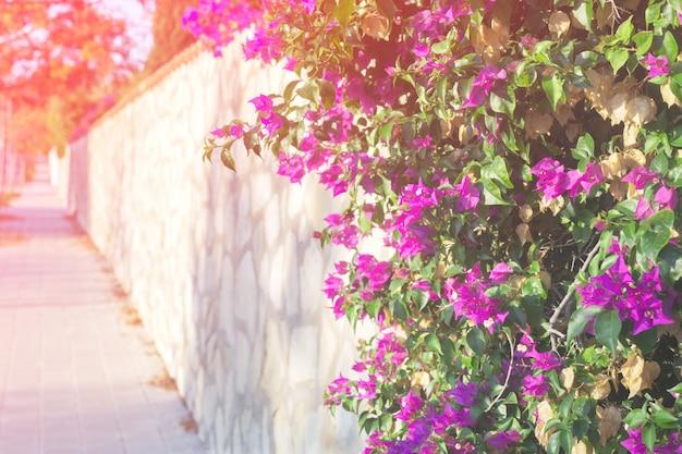 Buganvílias rosa flor no fundo da paisagem urbana Foto Premium