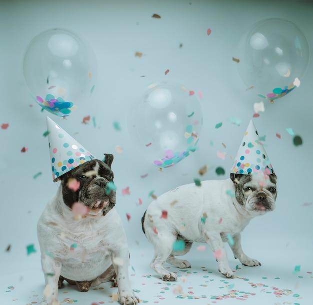 Buldogue francês, comemorando o aniversário com balões e confetes Foto Premium