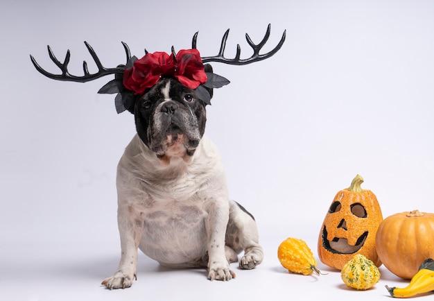Buldogue francês de retrato sentado com chifres de veado de halloween e flores vermelhas em branco Foto Premium