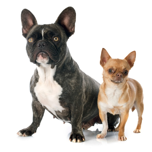 Buldogue francês e chihuahua Foto Premium