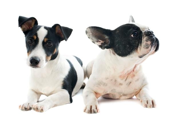 Buldogue francês e jack russel terrier em branco Foto Premium