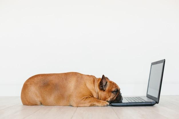 Buldogue francês marrom bonito trabalhando no laptop em casa e se sentindo cansado. animais de estimação dentro de casa, estilo de vida e conceito de tecnologia Foto Premium