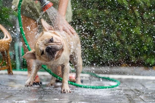 Buldogue francês tomar banho Foto Premium