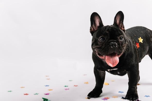 Buldogue lindo posando com elementos de festa Foto gratuita