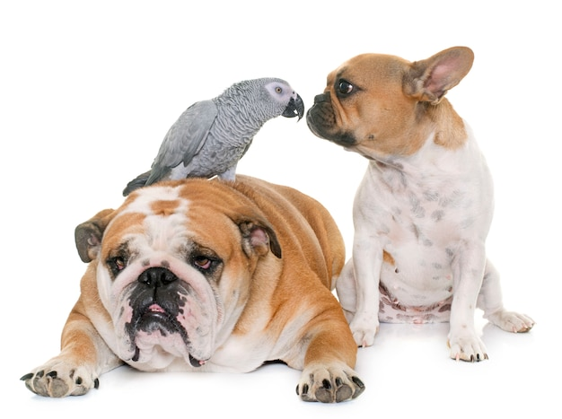 Buldogues e papagaio Foto Premium