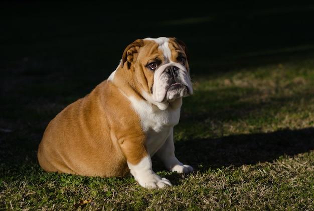 Bulldog fêmea branco e marrom inglês que senta-se na grama Foto Premium