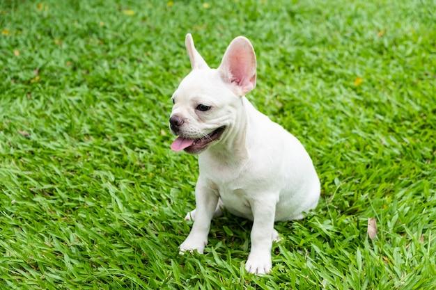 Bulldog francês Foto Premium
