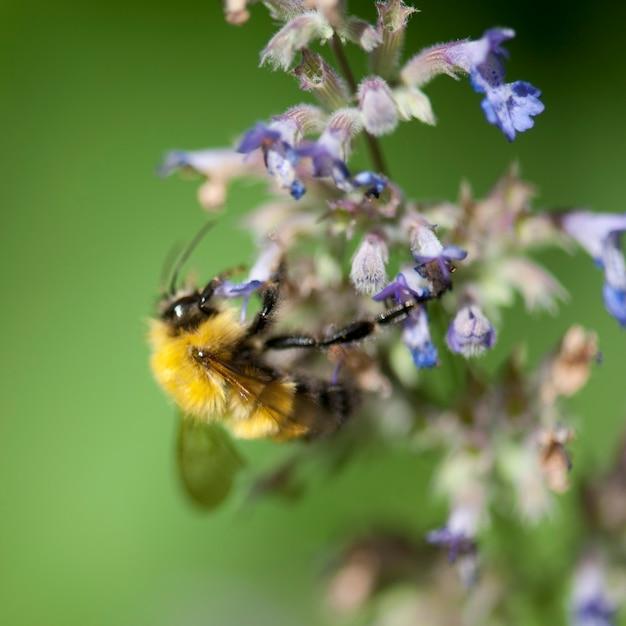 Bumble abelha em uma flor no lago dos bosques, ontário Foto Premium