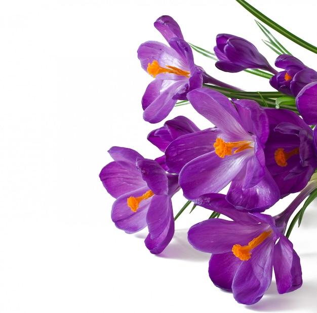 Buquê de primavera de açafrão roxo isolado Foto gratuita