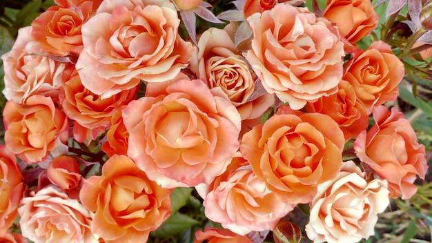Buquê de rosas laranja e botões crescendo em um jardim Foto Premium