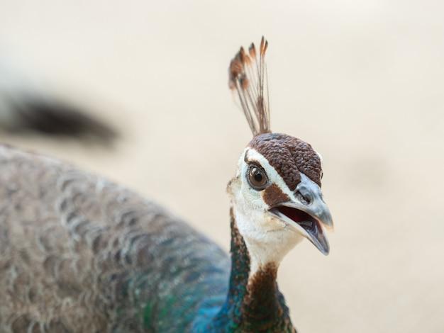 Cabeça colorida da cabeça do pavão, fim acima. Foto Premium