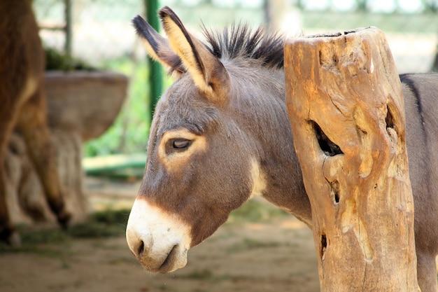 Cabeça de burro. Foto Premium