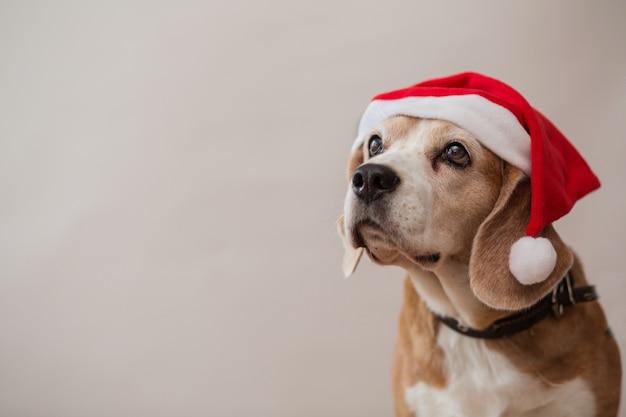 Cabeça de cães beagle olhando o retrato na parede cinza claro. fechar-se. Foto Premium