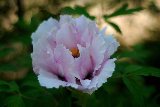 Cabeça de flor cor-de-rosa fresca da peônia, tempo de mola no jardim. Foto Premium