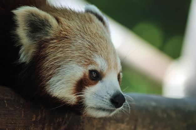 Cabeça de panda vermelho closeup tiro Foto Premium