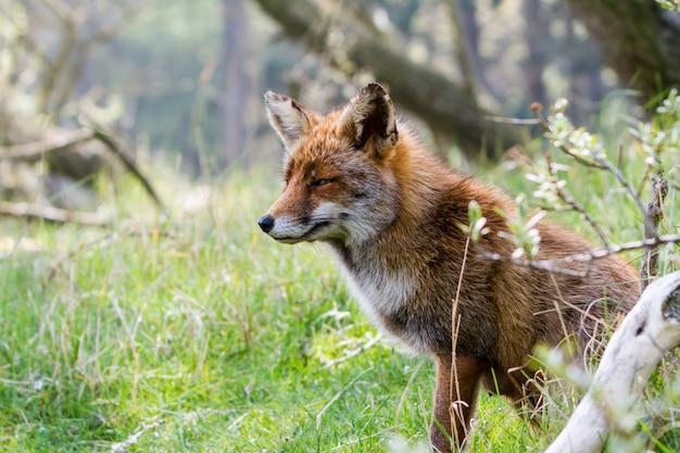 Cabeça raposa Foto Premium