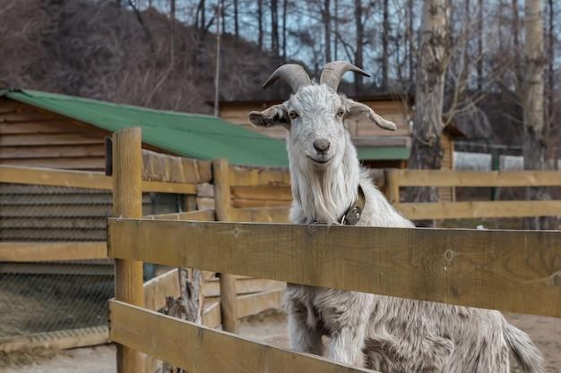 Cabra adulta com os chifres que estão no aviário atrás de uma cerca de madeira. Foto Premium