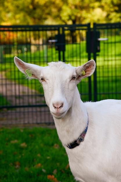 Cabra branca bonita ao ar livre Foto gratuita