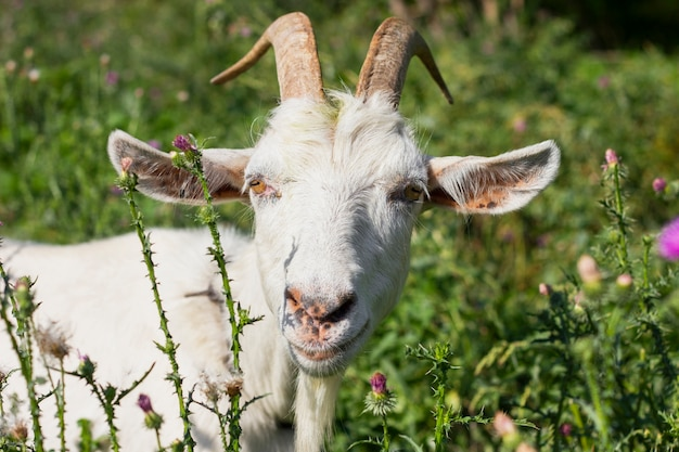 Cabra branca na fazenda na grama Foto gratuita