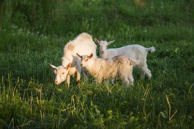 Cabra com um cabrito. as cabras da família são pastadas em um prado verde. mãe cabra e seus bebês na vila. rebanho de cabras andando na zona rural Foto Premium