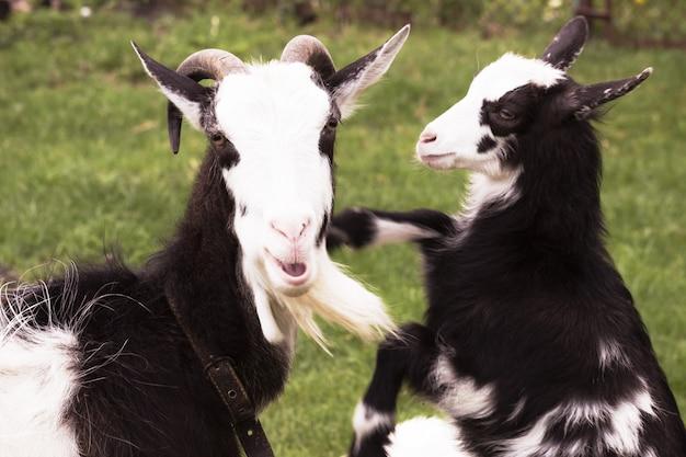 Cabra com uma cabra-kiddy na natureza. Foto Premium